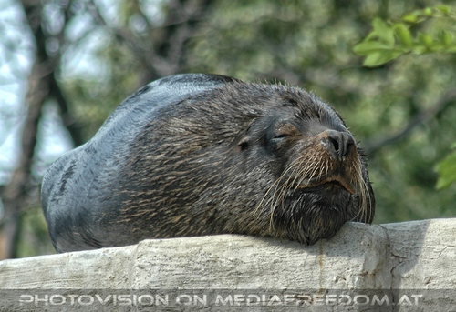 Schlafende Mähnenrobbe: Commandante