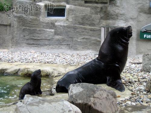Vater und Sohn: Seelöwe