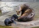 Mähnenrobben Mama mit Baby