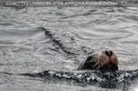 Schwimmende Mähnenrobbe