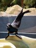 Seelöwe macht (Flossen) Handstand ;-)