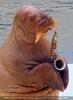 Walrus Show 10