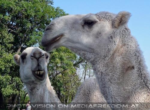 Am Hof 16 - Weiße Kamele