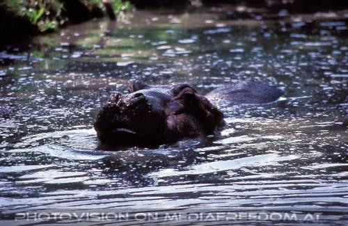 Auf Safari 08: Flusspferde