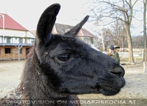 Advent 18: Lamas