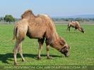 Am Hof 07 - Kamele