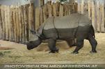 Halb gebadetes Nashorn