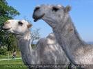 Am Hof 17 - Weiße Kamele