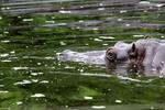 Flusspferd im Wasser