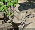 Baumpflücker Nashorn