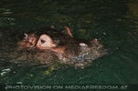 Flusspferd taucht