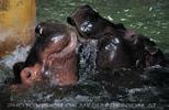 Flusspferde 1