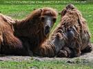 Kamel kuscheln