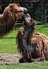 Kamel Paarungsspiel