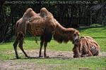 Kamel Zärtlichkeit