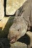Lachendes Nashorn