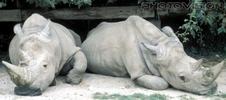 Nashorn Zwillinge