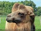 Am Hof 06 - Kamele