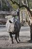 Nashorn Anblick