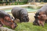 Gewaltiges Flusspferd Trio
