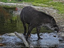 Tapir im Teich