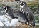 Pinguine kuscheln