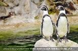Pinguinpärchen weise
