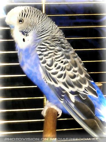 Valentine Bird Slowly Burli: Sittich