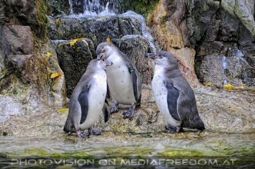 Humbold Pinguine