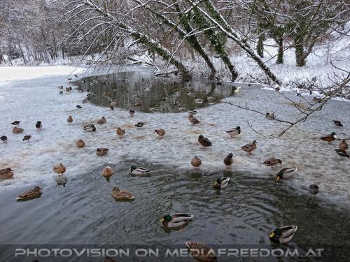 Winterlich 18: Enten