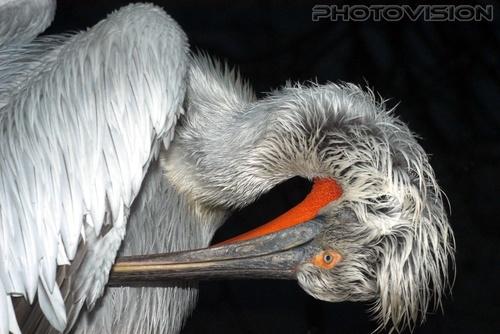 Good night....: Pelikan