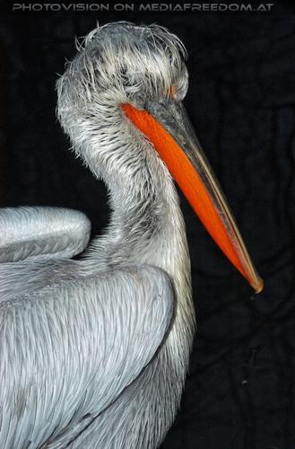 Pelikane am Abend 2