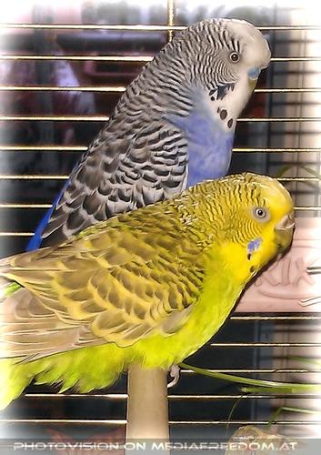 Valentine Birds Slowly Burli and Speedy: Sittich