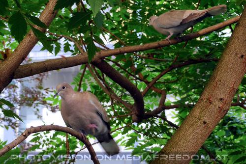 Papatag 6: Tauben