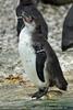 Humboldt Pinguin
