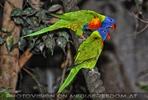 Papageien Pärchen