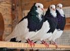 3 Tauben