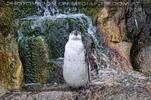 Humbold Pinguin