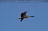 Der Lärmstörer Storch
