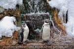 Humbold Pinguine vor dem Eisfall
