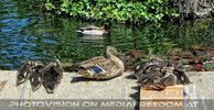 Entenfamilie beim Volksgartenbrunnen