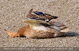 Entspannte Ente