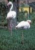 Flamingo Paar