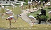 Flamingos mit Jungtieren