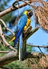 Gelbbrust Papagei