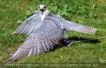 Greifvogel Flugschau 07