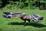 Greifvogel Flugschau 21