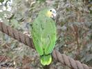 Grüne Amazone