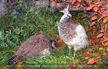 Herbsthühner