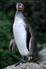Humboldt Pinguin 1